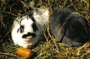 Kaniner. Fotograf Vera Buhl. Wikimedia Commons.