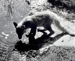 Reven er det vanligste og største rovdyret i og rundt Bergen. Den har tilpasset seg bylivet. Fotograf: Ukjent. Arkivet etter Morgenavisen A/S, Bergen Byarkiv.